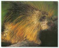 Brown Porcupine