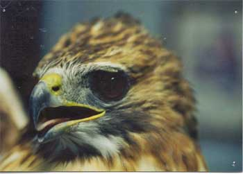 Red-Tailed Hawk Close